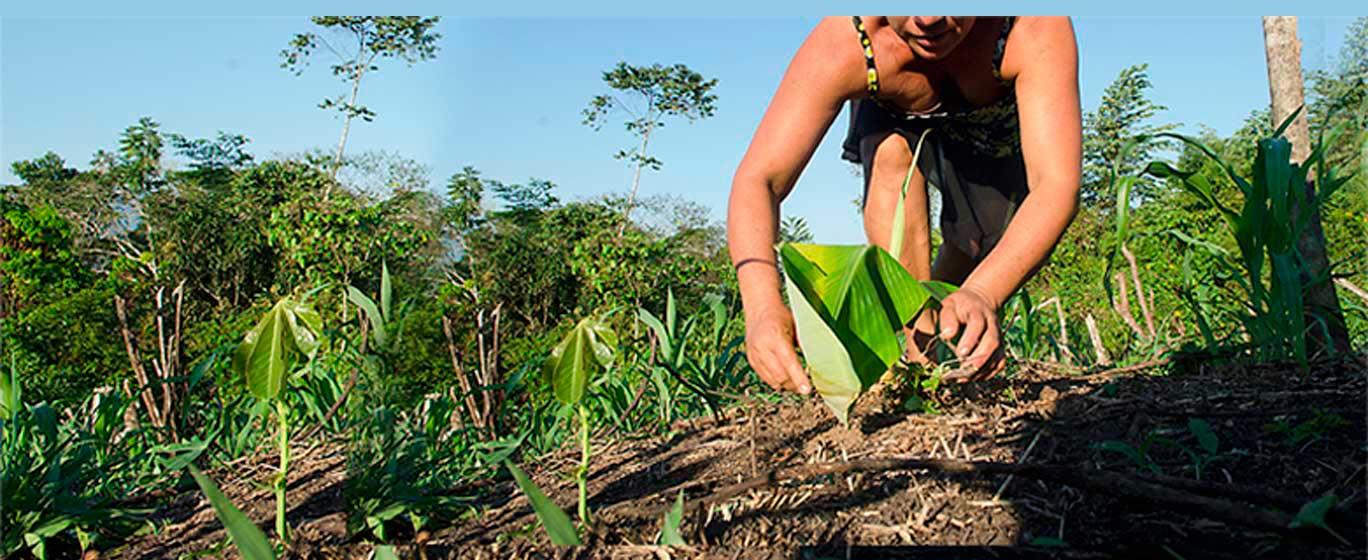 Promoción de la competitividad de la cadena de valor de cacao a través  de la caracterización, recuperación y concentración de los mejores materiales de reproducción y propagación de cacaos nativo en la Región Amazonas, para su difusión y comercialización
